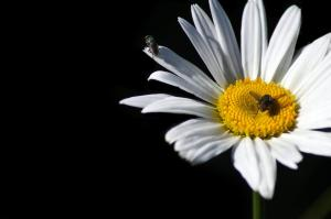 lalat_bukan_lebah